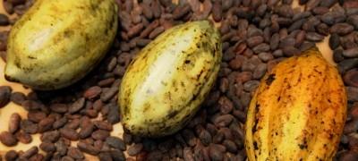 Kakaosorten
